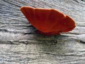 Algunos usos de Pycnoporus sanguineus