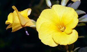 Lino amarillo
