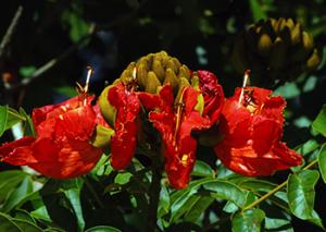 Tulipán Africano