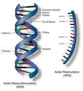 Ácidos nucleicos: ¿Por qué el uracilo no está presente en el ADN?