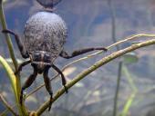 Cucarachones de agua